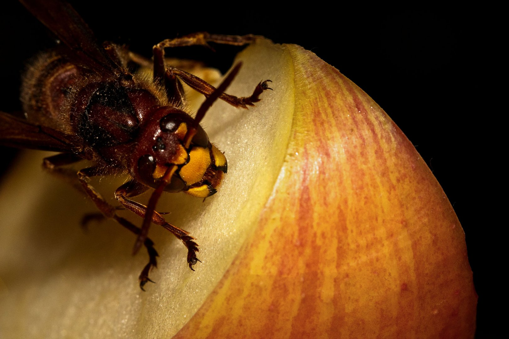Makro von Hornisse auf Apfel