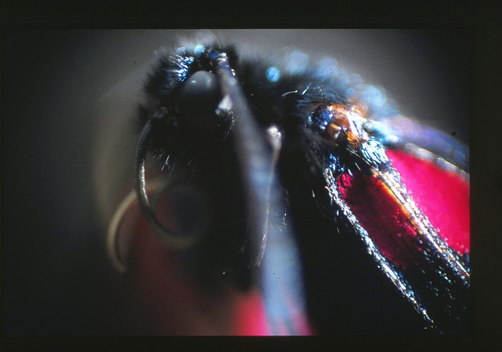 Makrolibelula