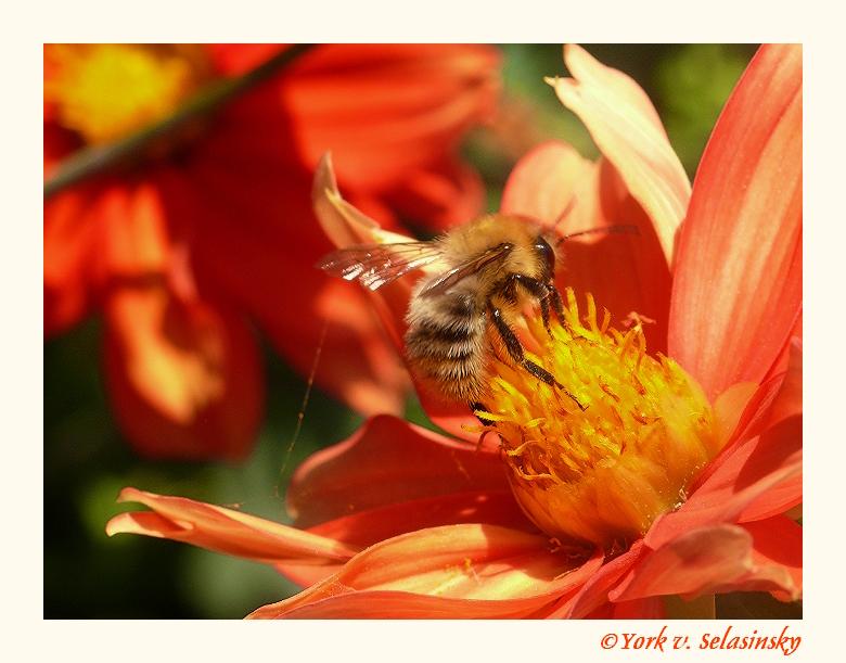 Makrozeit für Bienchen vorbei,