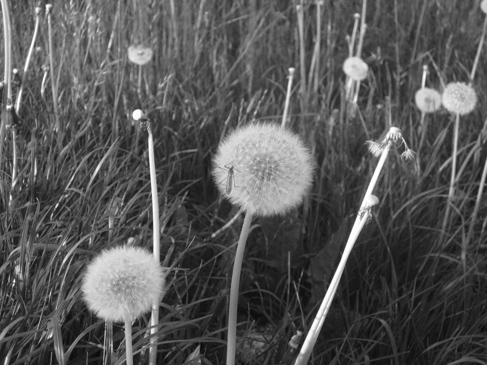 mal schwarz wei foto bild pflanzen pilze flechten bl ten kleinpflanzen l wenzahn. Black Bedroom Furniture Sets. Home Design Ideas