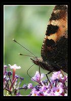 Mal wieder ein Schmetterling
