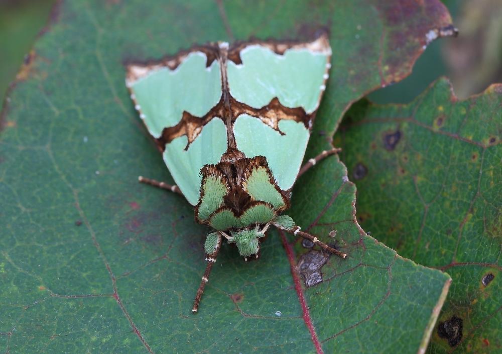 Malachiteule (Staurophora celsia)