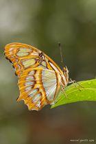 Malachitfalter (Siproeta stelenes) im BotMuc 2013