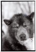 malamut chien de traineaux (québec)