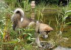 Malamute-Welpe am Teich
