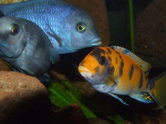 Malawis im Aquarium