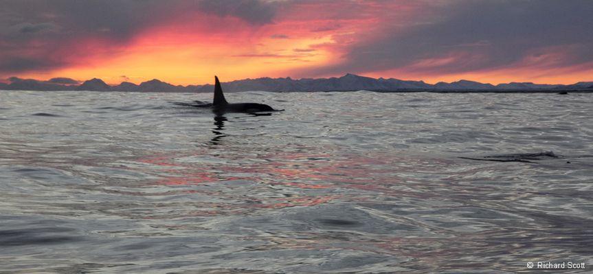 Male Orca. Norwegian Sea. 7 January 2012