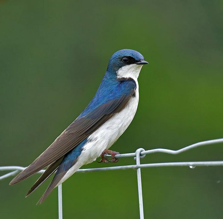 Male Swallow 2