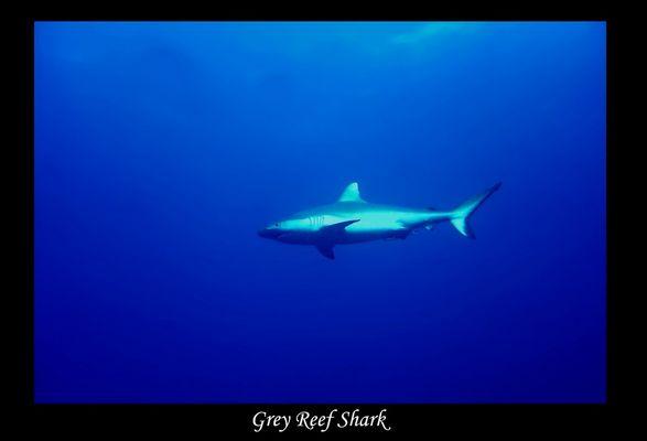 Malediven 2004 - Grauer Riffhai