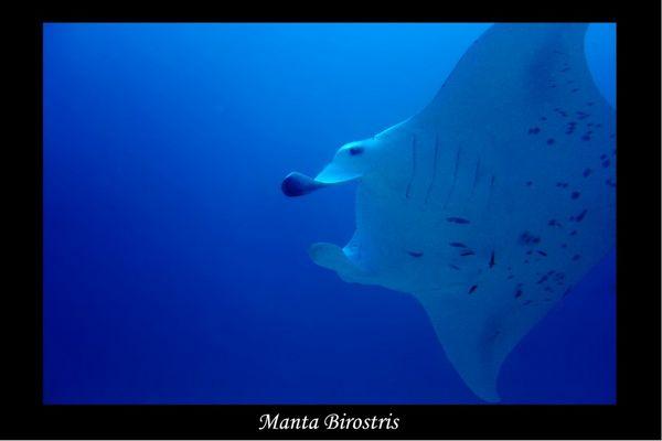 Malediven 2004 - Manta Birostris