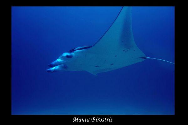 Malediven 2004 - Manta Birostris II