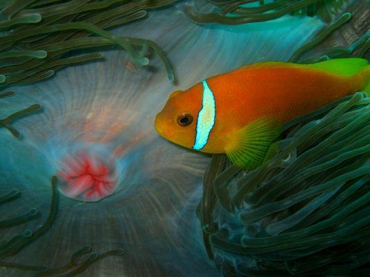 Malediven Anemonenfisch