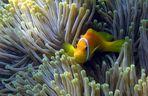 Malediven-Anemonenfisch (Amphiprion nigripes)