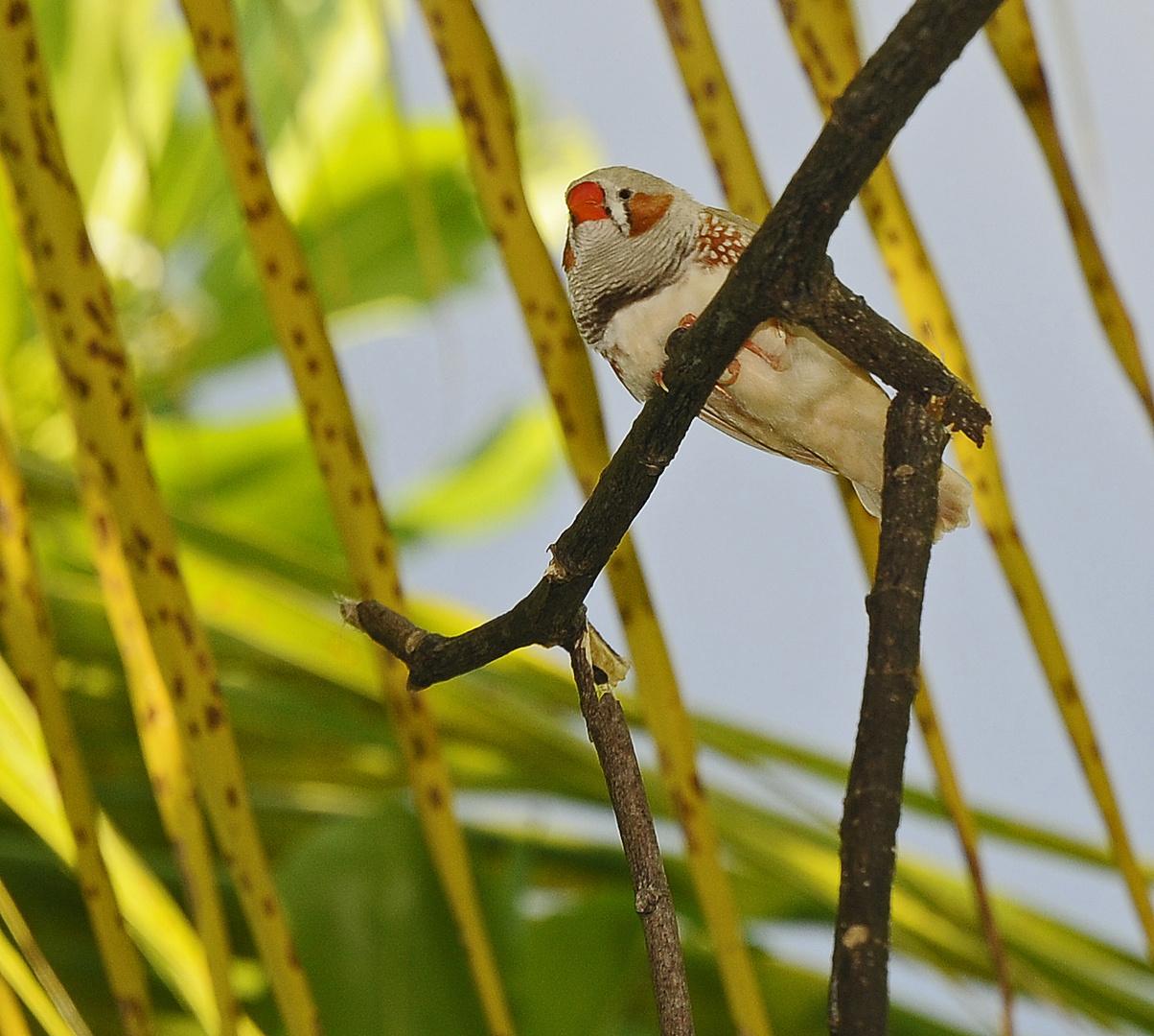 MALEDIVIAN BIRD