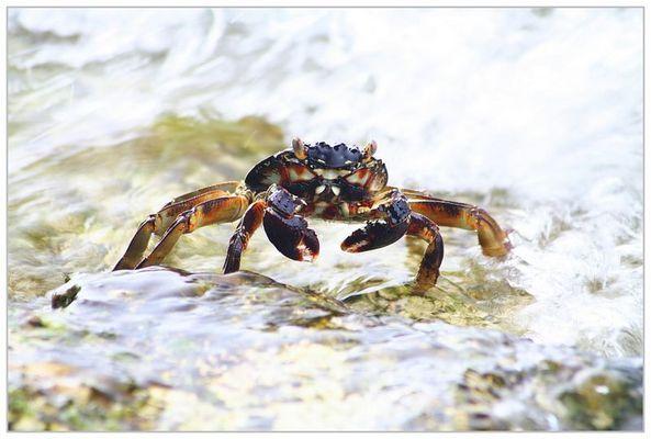Maledivian Crayfish