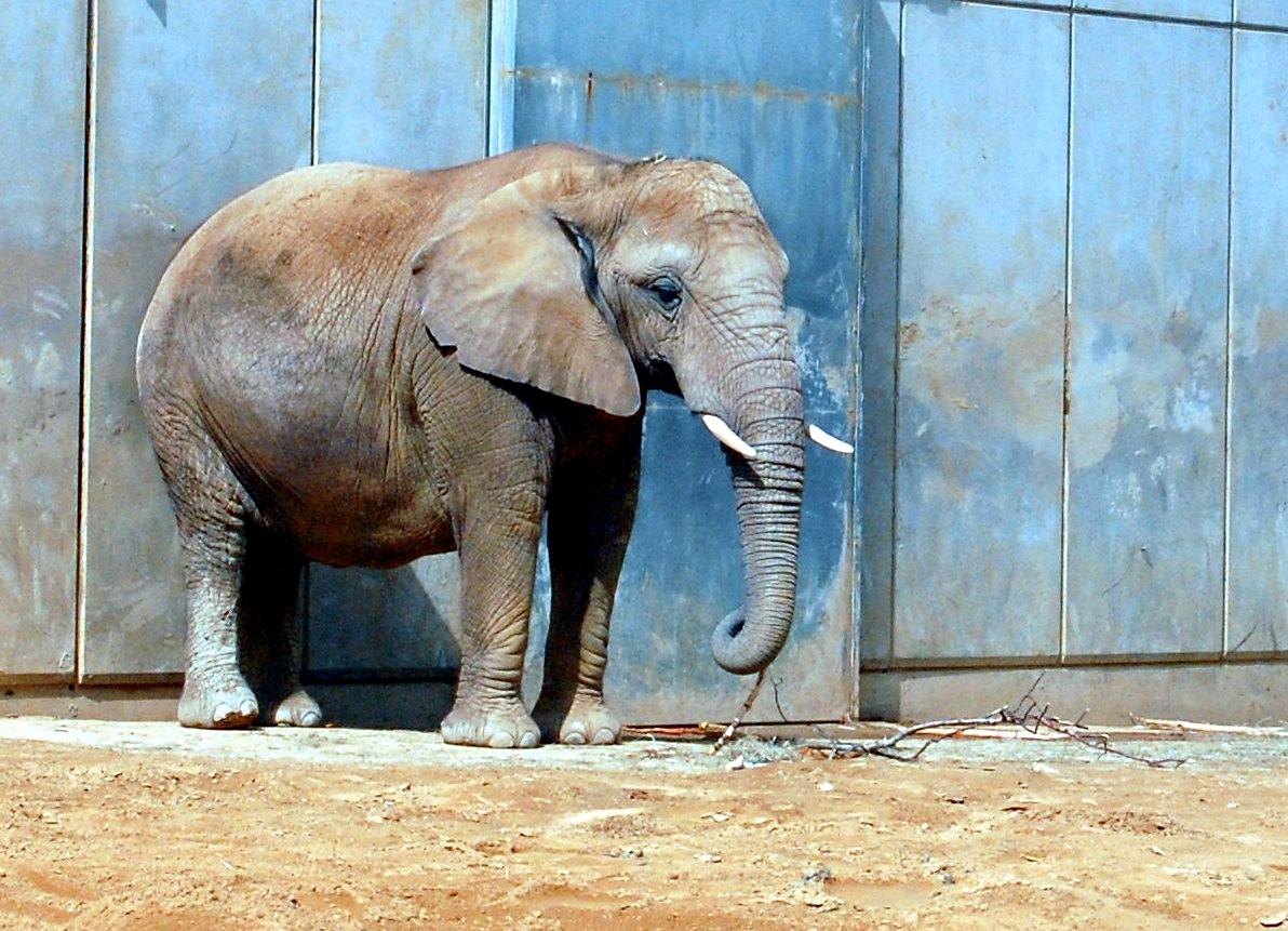 maler elefant