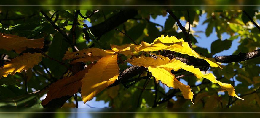 Malermeister Herbst - die  Blätter der Kastanie leuchten im hellen Licht
