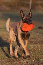 Malinois Rowdy und sein Frisbee!