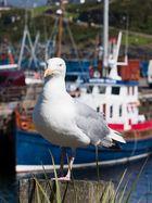 Mallaig Gull