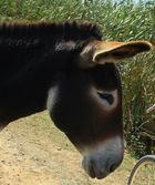Mallorquinische Esel