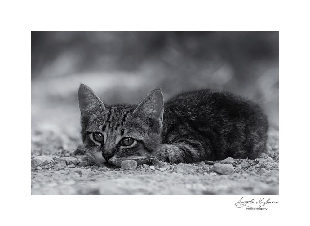 malta kitten