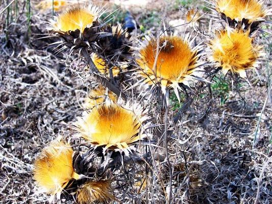 Malta's Flowers