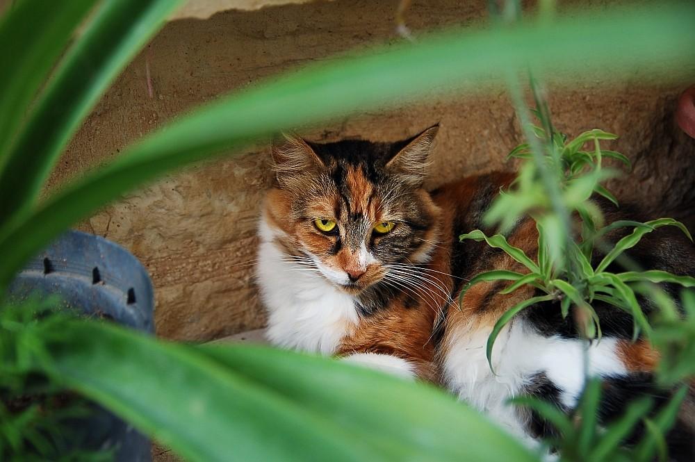 Maltesische Wach-Katze