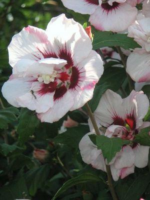 Malve-eine wunderbare Blume