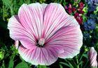 Malven-Blüte