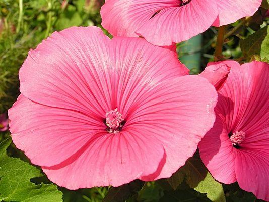 Malvenblüte rosa