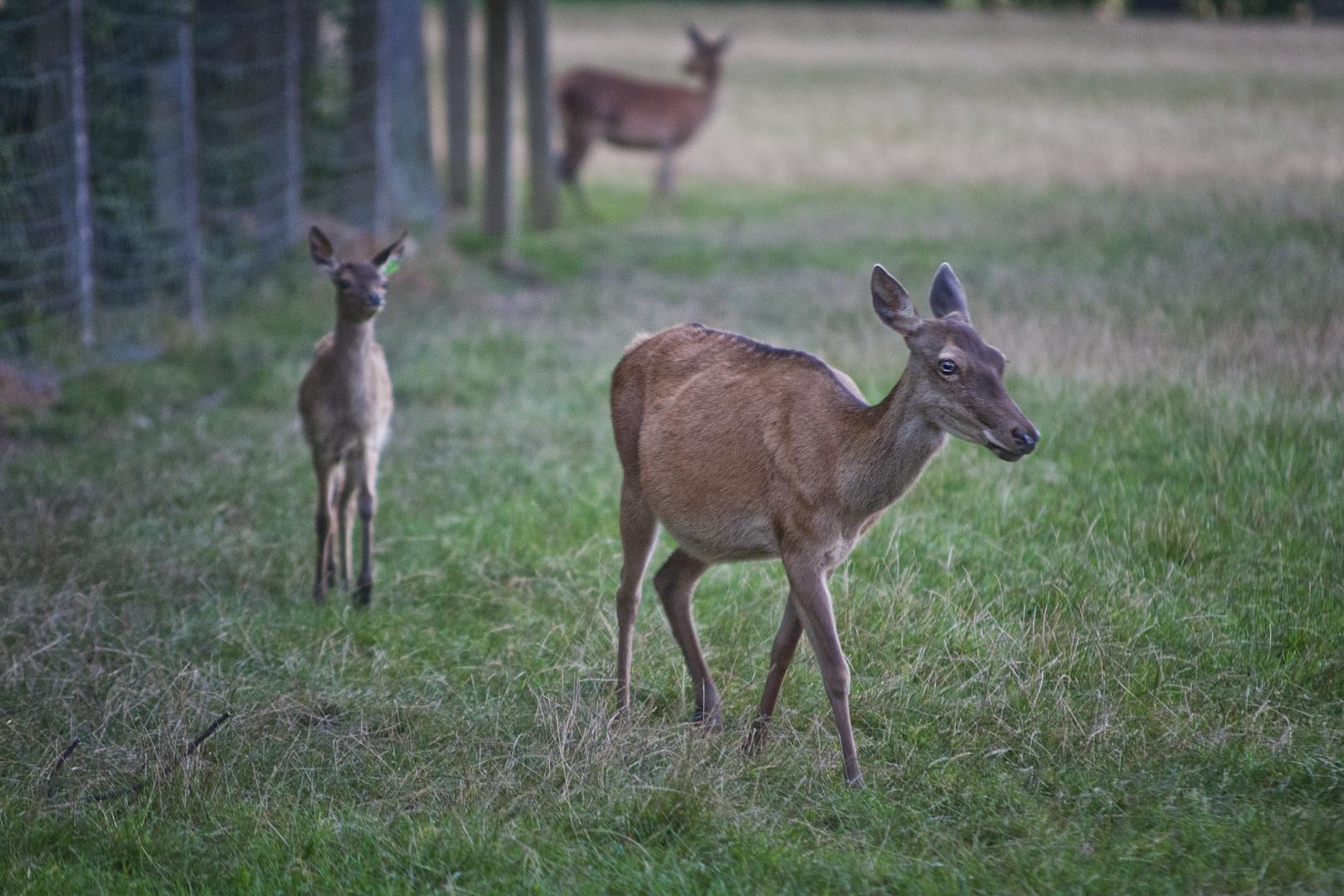 Mama Bambi