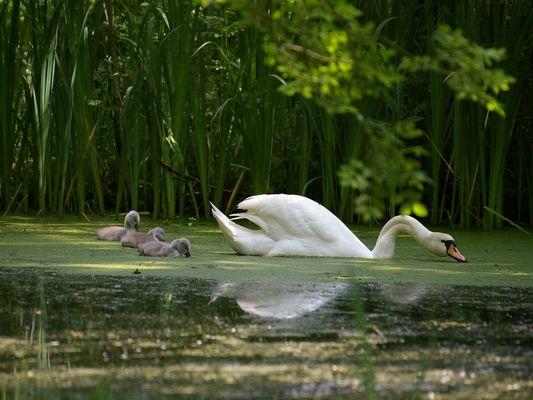 Maman Cygne et ses trois petits