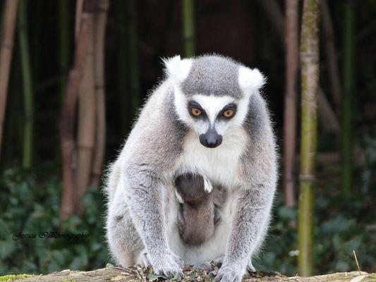 Maman et bébé lemur catta