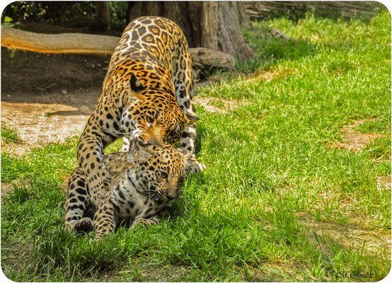 Maman léopard et son petit