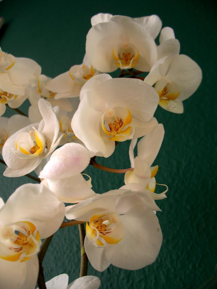 Mama´s Orchidee