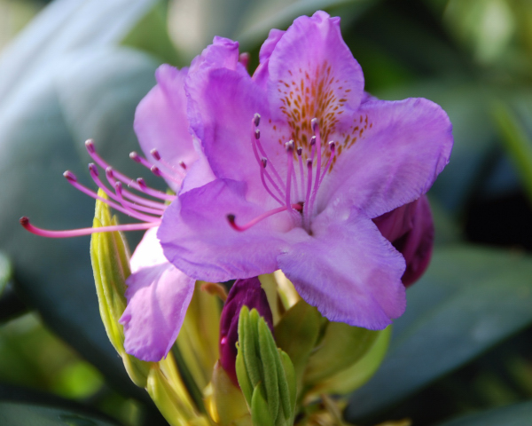 Mamas Rhododendron