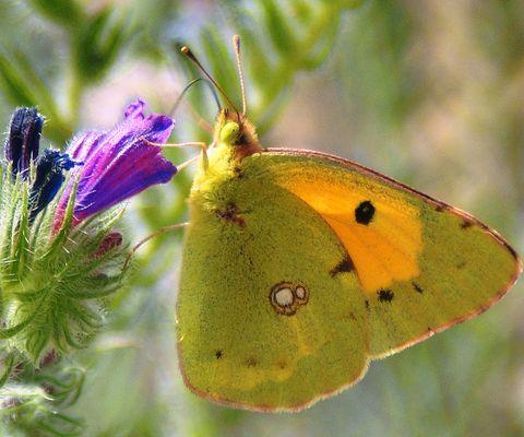 Mami papillon