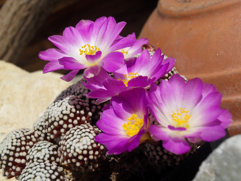 Mammillaria luethi...