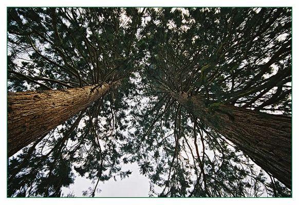 Mammutbäume
