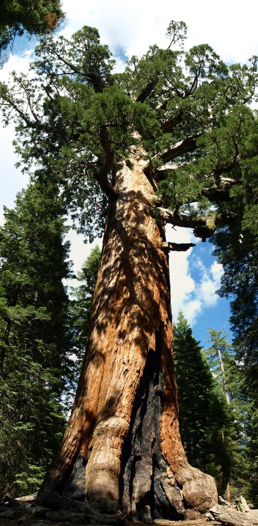 Mammutbaum im Yosemite Nationalpark
