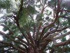 Mammutbaum in die Äste nach oben rein
