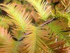 Mammutbaum - Nadelfärbung im Herbst