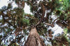 Mammutbaum - Sequoia