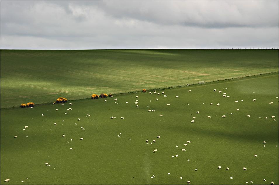 Manchmal sind's mehr Schafe . . .