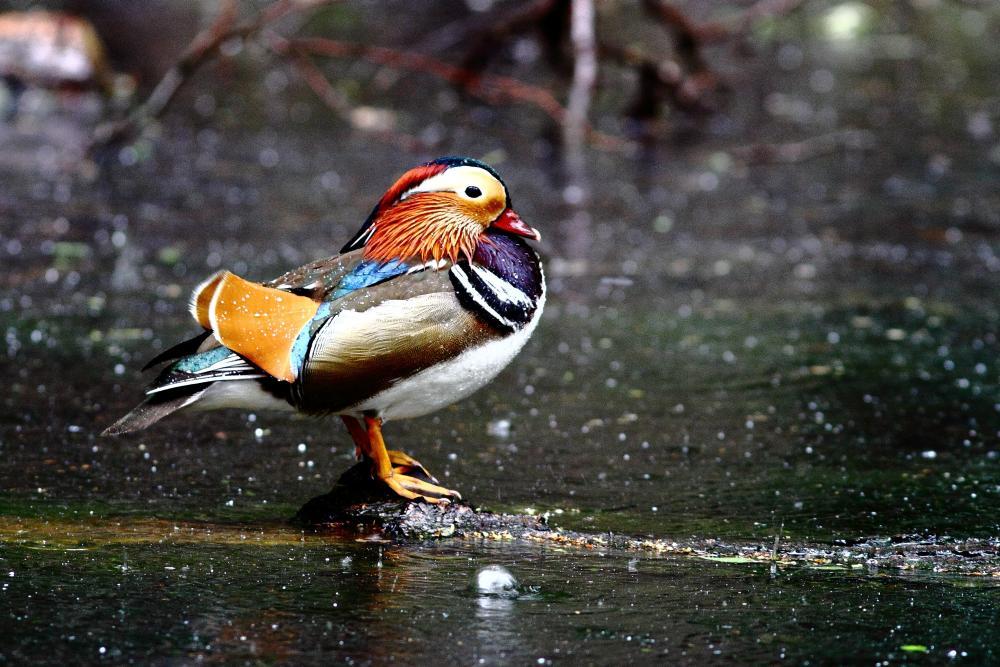 Mandarin Ente im Regen