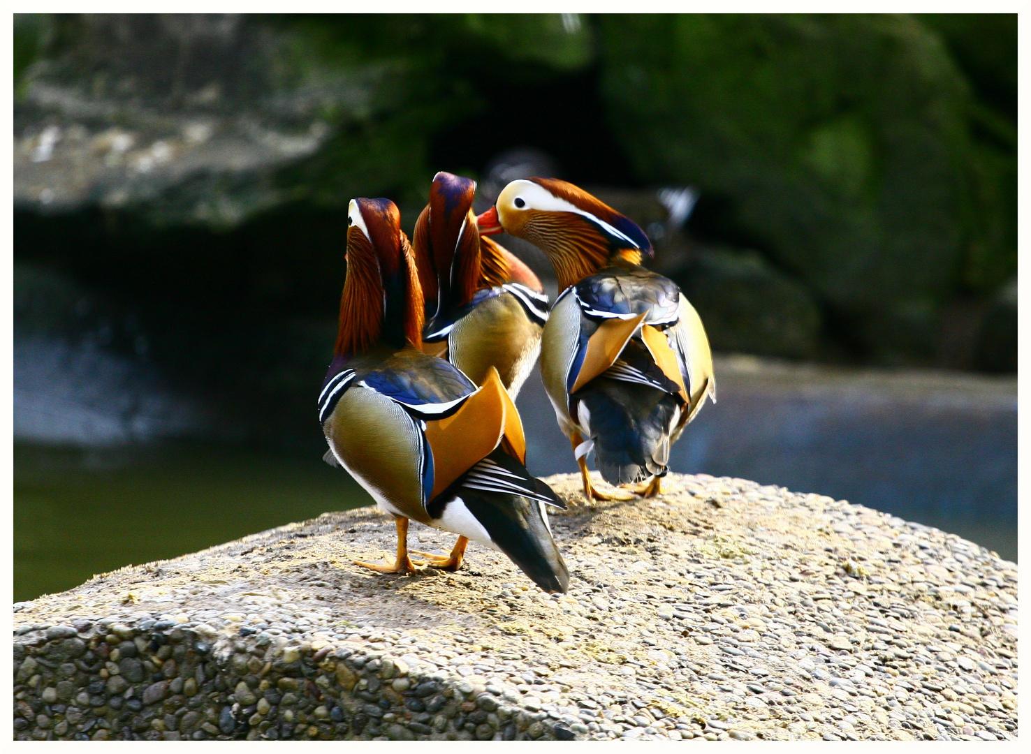 Mandarin - Enten