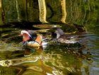 Mandarin Entenpaar