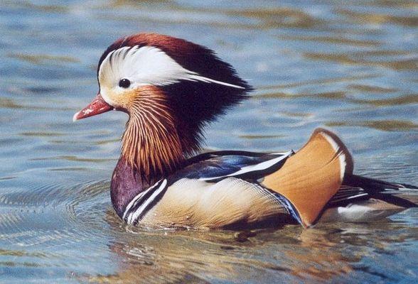 Mandarinen-Enten-Männchen