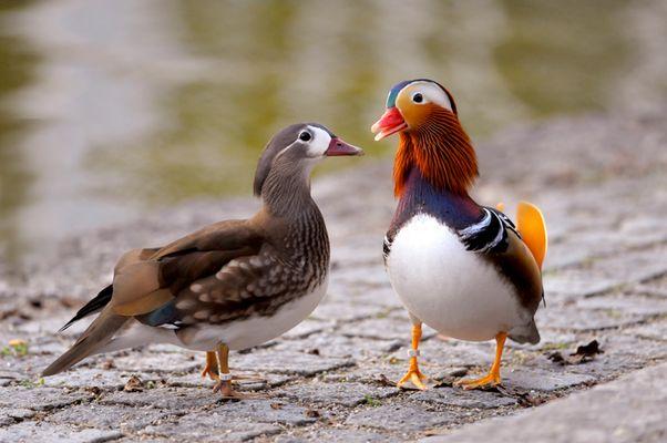 Mandarinen-Enten Pärchen