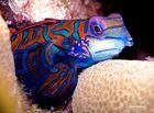 Mandarinfisch...